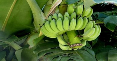 Raw Bananas Health Benefits