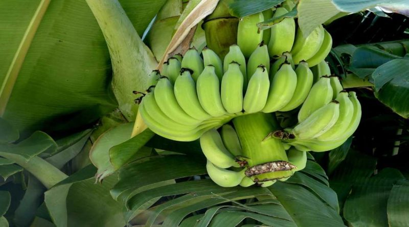 Raw Bananas Health Benefits