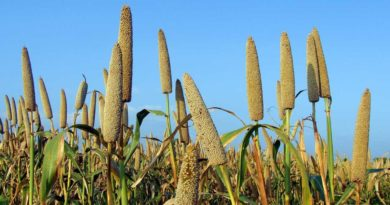 Health Benefits of Pearl Millet