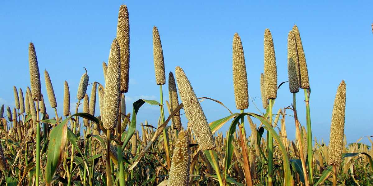 Health Benefits of Pearl Millet